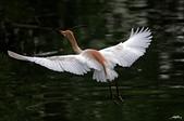 白鷺鷥與夜鷺及黃頭鷺:IMGP4059-1.jpg