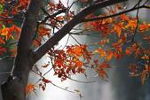 紅葉樹:IMGP7224-11.jpg