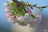 春櫻:IMGP3115-11.jpg
