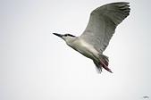 白鷺鷥與夜鷺及黃頭鷺:IMGP4158-11.jpg