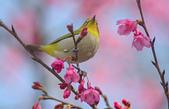 櫻、鳥:IMGP4183-11.jpg