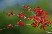 紅葉樹:IMGP3888-11.jpg