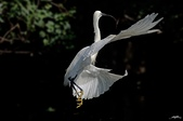 白鷺鷥與夜鷺及黃頭鷺:IMGP6073-11.jpg