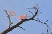 春櫻:IMGP4392-1.jpg
