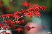 紅葉樹:IMGP3865-11.jpg