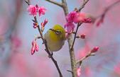 櫻、鳥:IMGP4268-11.jpg