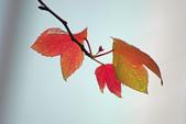 紅葉樹:IMGP0021-11.jpg