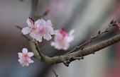 春櫻:IMGP4465-11.jpg