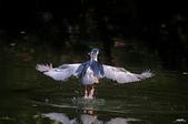 白鷺鷥與夜鷺及黃頭鷺:IMGP9987-1.jpg