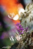小花草也有春天:IMGP7526-11.jpg