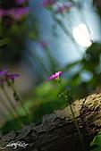 小花草也有春天:IMGP7529-11.jpg