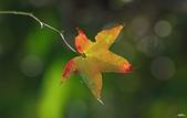 紅葉樹:IMGP2995-1.jpg