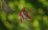 紅葉樹:IMGP2984-11.jpg
