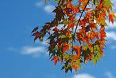 紅葉樹:IMGP9749-11.jpg
