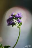 小花草也有春天:IMGP7960-11.jpg