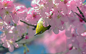 櫻、鳥:IMGP9528-11.jpg
