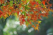 紅葉樹:IMGP7248-11.jpg