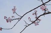春櫻:IMGP4410-1.jpg