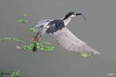 白鷺鷥與夜鷺及黃頭鷺:IMGP5296-12.jpg
