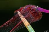 生態攝影:IMGP3823-11.jpg