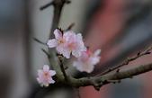 春櫻:IMGP4462-11.jpg