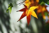 紅葉樹:IMGP7635-11.jpg