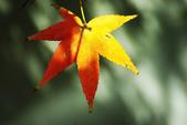紅葉樹:IMGP7636-11.jpg