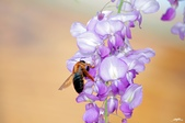 五花八門:紫藤