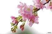 春櫻:IMGP2844-11.jpg