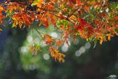 紅葉樹:IMGP7249-11.jpg