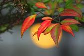 紅葉樹:IMGP8511-11.jpg