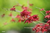 紅葉樹:IMGP3875-11.jpg