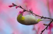 櫻、鳥:IMGP4218-11.jpg