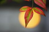 紅葉樹:IMGP8512-11.jpg