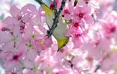 櫻、鳥:IMGP9541-11.jpg