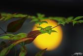 紅葉樹:IMGP8523-11.jpg
