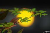 紅葉樹:IMGP8524-11.jpg