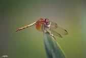 生態攝影:IMGP7830-11.jpg