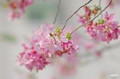 春櫻:IMGP2886-11.jpg