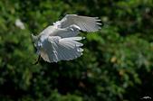 白鷺鷥與夜鷺及黃頭鷺:IMGP5946-11.jpg