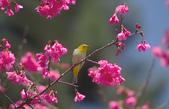 櫻、鳥:IMGP4325-11.jpg