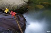 紅葉樹:IMGP9755-11.jpg
