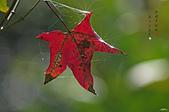 紅葉樹:IMGP4552-11.jpg