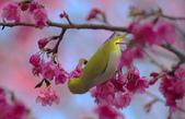 櫻、鳥:IMGP4204-11.jpg