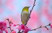 櫻、鳥:IMGP4276-1.jpg