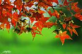 紅葉樹:IMGP5970-11.jpg
