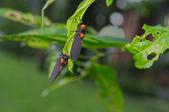 昆蟲:IMGP8241-11.jpg