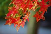 紅葉樹:IMGP5971-11.jpg
