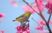 櫻、鳥:IMGP4288-1.jpg