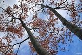 紅葉樹:IMGP9130-11.jpg
